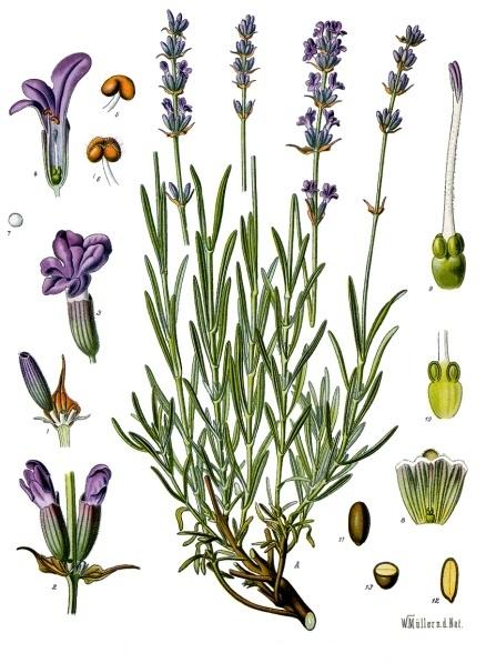 avandula_angustifolia_-_Köhler–s_Medizinal-Pflanzen-087